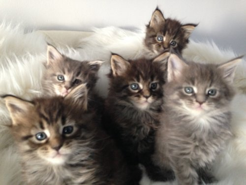 Superbes chatons Maine coon