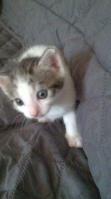 Matthew - mâle trigré brun et blanc - 1 mois