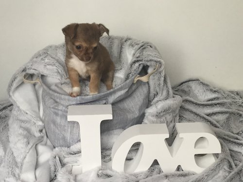 Chihuahua disponible debut juin