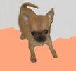 Chihuahua of tierras calientes, mâle à p.l avec...