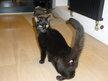 Jeune chatte toute noire trouvée à Forest -parc...