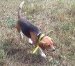 Beagle mâle
