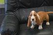 Chiots basset hound