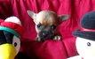 Magnifique chiot chihuahua a réservé