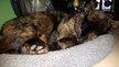 Aska - Femelle écaille de tortue - 3 ans