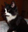 Trouvé 6971 Champlon chat noir et blanc à longs...