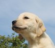 Chiots Labrador: blondes, noirs, bruns