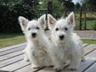 Chiots West-Highland Terrier
