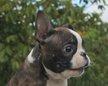 Chiots Boston Terrier