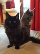 Deux chatonnes Maine Coon Black adorables