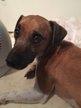 Jack Russel Terrier de 7 ans à donner