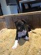 Amstaff pups met FCI stamboom