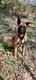 Berger malinois pure race pour saillie