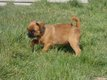 Chiots Griffons Bruxellois disponible de suite