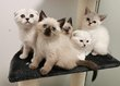 Chatons scottish shorthair