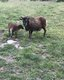 Brebis et agnelle Soay