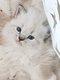 Adorables chatons Siberiens Neva Masquerade