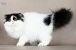 Magnifique chats persans
