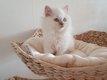 Magnifique british shorthair et longhair ...