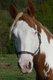 Superbe poulain paint horse sorrel overo aux yx...