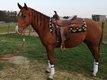 Très joli hongre Quarter Horse de 4ans