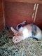Jeune lapin nain femelle