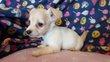 Chiots JackRussellXchihuahua