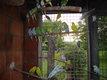 Jeunes perruches ondulées