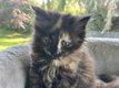 Magnifique petite femelle Black Tortie Norvégienne