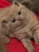 5 adorables British shorthair