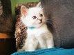 Magnifique chaton femelle sacré de Birmanie