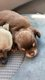 Femelles chihuahuas charbonnées