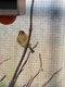 Jeune canari mâle
