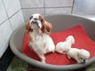 King Charles, le cousin du cavalier King charles