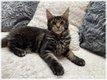 Magnifique chaton Maine Coon disponible...