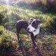Beau mâle American Stafford Terrier