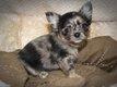 Magnifiques chiots Chihuahua