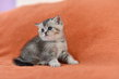Magnifiques chatons British Shorthair sont...