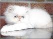 2 magnifiques chatons Persan Colourpoint femelles
