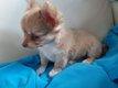 Chiot Chihuahua mâle poils longs