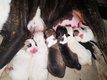Chiots Bull Terrier à réserver