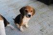 Beagle males et femelle