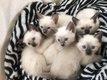 5 adorables chatons siamois