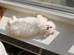 Deux chatons persans cherchent chacun une bonne...