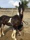 Magnifique cheval pie