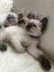 2 adorables chatons siamois