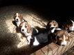 Chiots Beagle disponibles de suite