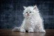 Magnifiques chatons Sibériens blancs aux yeux...