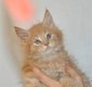 Chaton Maine coon mâle disponible