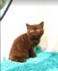 Magnifique chaton british shorthair femelle à...